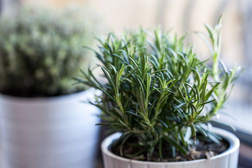 tach wellness bioavailability rosemary