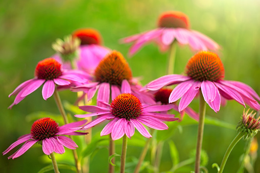 tach wellness blog echinacea flowers health benefits